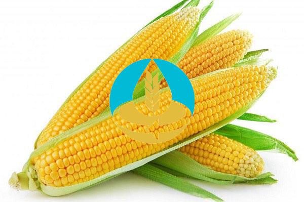 کاربرد ذرت در صنایع غذایی